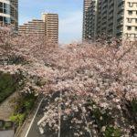 もうこの桜もそんなに多く見れないかもしれない