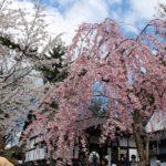 弘前城の桜と、4月の積立投資